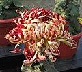 菊花-龍爪型 Chrysanthemum morifolium Dragon-claw-series -中山小欖菊花會 Xiaolan Chrysanthemum Show, China- (9207628510).jpg