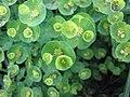 西格爾大戟 Euphorbia seguieriana -荷蘭園藝展 Venlo Floriade, Holland- (9219890909).jpg