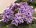 非洲紫羅蘭 Saintpaulia Heart's Desire Sport -香港花展 Hong Kong Flower Show- (25929631402).jpg