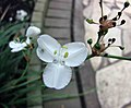 麗鳶尾屬 Libertia formosa -比利時 Ghent University Botanical Garden, Belgium- (9229775432).jpg