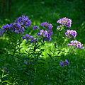 02014.08 Blumen in Sanok.JPG