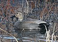024 - GADWALL (1-26-2016) patagonia lake, santa cruz co, az -01 (24045093663).jpg