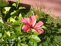 0879jfHibiscus rosa-sinensis Pinkfvf 02.jpg