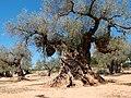 1000 jährige Olivenbäume in Ulldecona, Katalonien, Spanien, 7.jpg
