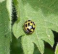 14 spot Ladybird. Propylea 14-punctata. Coccinellidae - Flickr - gailhampshire.jpg