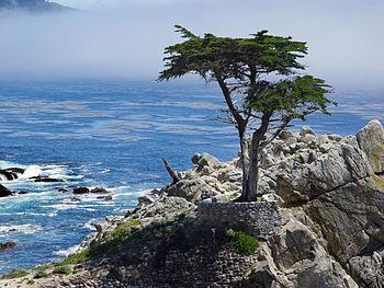 Lone cypress at 17-mile drive, Pebble Beach, C...