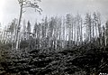 1932. Aphis abietina, Walk., damage to Sitka spruce. Mora, Washington. (39337315024).jpg