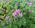 1 Pelargonium capitatum - rose scented pelargonium - Cape Town.jpg