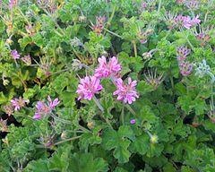240px 1 pelargonium capitatum   rose scented pelargonium   cape town
