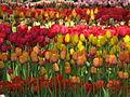 20090501-03 Tulpenweekend Nederland (0316).jpg