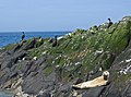 2009 07 02 - Young grey seal and cormorants on Farne Islands.JPG