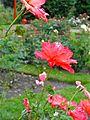 20130815 Rosarium Diepenheim.jpg