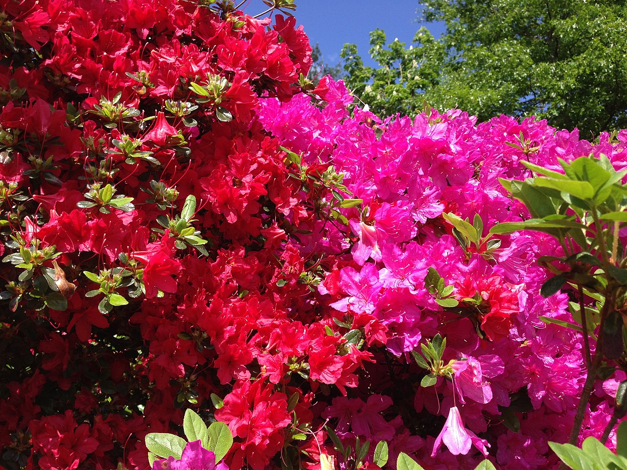 https://upload.wikimedia.org/wikipedia/commons/thumb/8/80/2014-05-17_10_24_50_Pink-purple-flowered_and_red-flowered_Azaleas_in_front_of_an_old_house_on_Spruce_Street_%28Mercer_County_Route_613%29_in_Ewing%2C_New_Jersey.JPG/1280px-2014-05-17_10_24_50_Pink-purple-flowered_and_red-flowered_Azaleas_in_front_of_an_old_house_on_Spruce_Street_%28Mercer_County_Route_613%29_in_Ewing%2C_New_Jersey.JPG