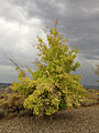 2014-09-20 18 00 46 Tree with yellowing foliage in Elko, Nevada.JPG