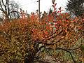 2014-12-20 13 08 19 Leaf coloration of Azalea cultivar 'Rosebud' during early winter along Terrace Boulevard in Ewing, New Jersey.JPG
