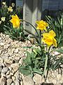 2015-03-16 12 27 05 Daffodils on Idaho Street (Interstate 80 Business) in Elko, Nevada.JPG