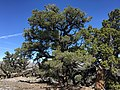 2015-04-28 13 29 01 An older Single-leaf Pinyon on the south wall of Maverick Canyon, Nevada.jpg