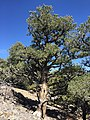 2015-04-28 14 06 28 An older Single-leaf Pinyon on the south wall of Maverick Canyon, Nevada.jpg