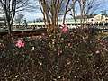 2015-12-27 13 58 52 Roses blooming in December at the Franklin Farm Shopping Center in the Franklin Farm section of Oak Hill, Fairfax County, Virginia.jpg