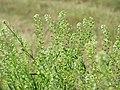 20150605Lepidium virginicum1.jpg