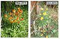 2015 Wallflowers - May + October.JPG
