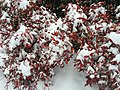 2016-02-15 10 07 51 Firepower Nandina domestica covered in snow along Franklin Farm Road in the Franklin Farm section of Oak Hill, Fairfax County, Virginia.jpg
