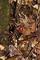 2016-03-09 Haddowia longipes (Lév.) Steyaert 613413.jpg