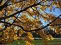 2016-11-18 11 40 01 Norway Maple autumn foliage in Franklin Farm Park in the Franklin Farm section of Oak Hill, Fairfax County, Virginia.jpg