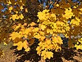 2016-11-18 11 40 43 Norway Maple autumn foliage in Franklin Farm Park in the Franklin Farm section of Oak Hill, Fairfax County, Virginia.jpg
