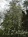 2017-04-12 09 35 44 Crabapple in bloom in a woodland within the Chantilly Highlands section of Oak Hill, Fairfax County, Virginia.jpg