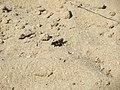 20170823Oedipoda caerulescens.jpg