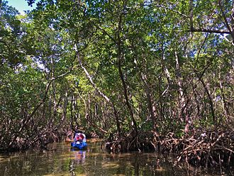 Lido Key - An ecotourist on a kayak tunnels through red mangrove trees and roots