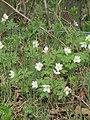 2018-04-23 Wood Anemone (Anemone nemorosa), Cromer.JPG
