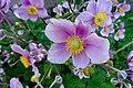 20190821 Bolsward chinese anemoon anemone hupehensis.jpg