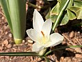 2021-03-21 13 08 12 A white Crocus tommasinianus blooming along Tranquility Court in the Franklin Farm section of Oak Hill, Fairfax County, Virginia.jpg