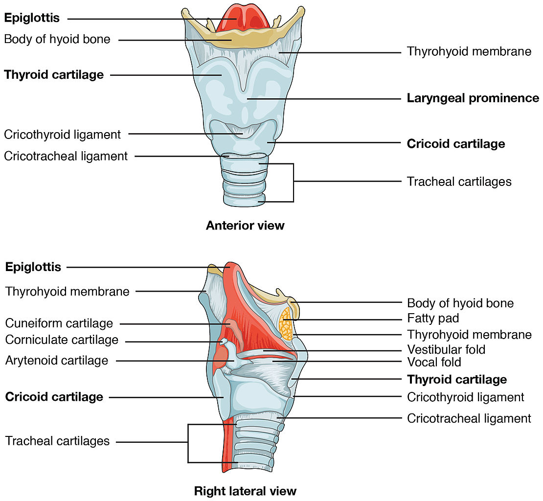 File:2306 The Larynx.jpg - Wikimedia Commons