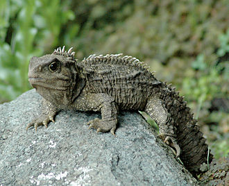 Tū-te-wehiwehi - A young adult male tuatara, a native New Zealand reptile, one of the children of Tū-te-wehiwehi