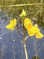 3647 Loos blaasjeskruid Utricularia Sloot naast VariaSki Waterskiplas Westpark.DeHeld.RoegeBos.Gravenburg Vinkhuizen.jpg