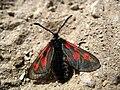 3988 - Zermatt - Zygaenidae.JPG