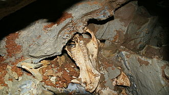 Indiana Caverns - A portion of a Flat-headed Peccary skull found in the cave. Two such skulls are shown on the tour.
