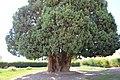 4,000-year-old Iranian cypress (6223139271).jpg