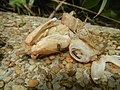 4300Ants of the Philippines Common houseflies 22.jpg