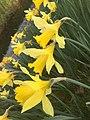 4326.Wilde.Narcis.Nieuwlande.UitWeiland.Afkokmstig.Narcisus.jpg