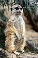 50 Jahre Knie's Kinderzoo - Suricata suricatta (Erdmännchen) 2012-10-03 16-24-02.JPG