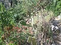 63.Agios Nikitas - Cactus pe drumul catre plaja Mylos - panoramio.jpg