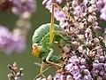6 zadelsprinkhaan Ephippeger ephipigger vrouw eet spermatofylaxP1210060 (2).jpg