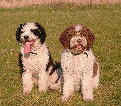 Cavachon Dog Names