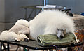 AKC Poodle at Helena Fall dog Show 2011.jpg
