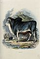 A Brahminy bull standing on the shore of a river. Coloured r Wellcome V0020807.jpg