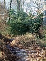 A Holly Bush in Bradenham Wood - geograph.org.uk - 92763.jpg